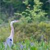 Adirondacks Lake Durant Great Bue Heron 4 August 2021