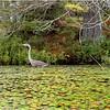 Adirondacks Lake Durant Great Blue Heron 2 August 2021