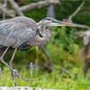 Adirondacks Lake Durant Great Bue Heron 16 August 2021