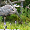 Adirondacks Lake Durant Great Bue Heron 15 August 2021
