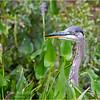 Adirondacks Lake Durant Great Bue Heron 9 August 2021