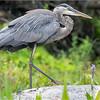 Adirondacks Lake Durant Great Bue Heron 18 August 2021