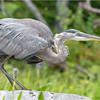 Adirondacks Lake Durant Great Bue Heron 17 August 2021