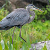 Adirondacks Lake Durant Great Bue Heron 12 August 2021