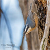 New York Albany County Delmar Red Breasted Nuthatch 3 March 2021