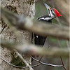 New York Albany County Delmar Pileated Woodpecker Female 10 March 2021