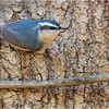 New York Albany County Delmar Red Breasted Nuthatch 4 March 2021