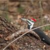 New York Albany County Delmar Pileated Woodpecker Female 1 March 2021