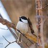 New York Albany County Delmar Chickadee 1 March 2021