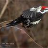 New York Albany County Delmar Pileated Woodpecker Female 7 March 2021