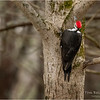 New York Albany County Delmar Pileated Woodpecker Female 9 March 2021