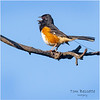 New York Albany Pine Bush Preserve Eastern Towhee Male 4 May 2021