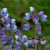 New York Albany Pine Bush Preserve Lupine 6 May 2021