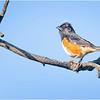 New York Albany Pine Bush Preserve Eastern Towhee Male 1 May 2021