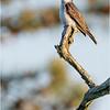 New York Albany Pine Bush Preserve Eastern Kingbird 3 May 2021