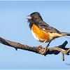 New York Albany Pine Bush Preserve Eastern Towhee Male 2 May 2021