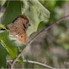 New York Albany Pine Bush Preserve Eastern Towhee Female May 2021