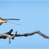 New York Albany Pine Bush Preserve Eastern Towhee Male 3 May 2021