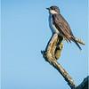 New York Albany Pine Bush Preserve Eastern Kingbird 1 May 2021
