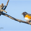 New York Albany Pine Bush Preserve Eastern Towhee Male 5 May 2021