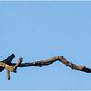 New York Albany Pine Bush Preserve Eastern Towhee Male 7 May 2021