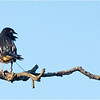 New York Albany Pine Bush Preserve Eastern Towhee Male 6 May 2021