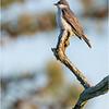 New York Albany Pine Bush Preserve Eastern Kingbird 2 May 2021