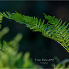 New York Albany Pine Bush Preserve Ferns 1 May 2021