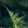 New York Albany Pine Bush Preserve Ferns 2 May 2021