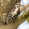 New York Cohoes Peebles Island Hairy Woodpecker Female 1 August 2021