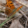 New York Cohoes Peebles Island Eastern Comma Butterfly 2 August 2021
