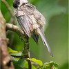 New York Cohoes Peebles Island Chickadee 5 August 2021