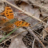 New York Cohoes Peebles Island Eastern Comma Butterfly 1 August 2021