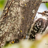 New York Cohoes Peebles Island Hairy Woodpecker Female 2 August 2021