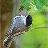 New York Cohoes Peebles Island Chickadee 8 August 2021