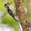 New York Cohoes Peebles Island Hairy Woodpecker Male 2 August 2021
