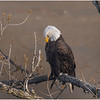 New York Cohoes American Bald Eagle 1600 22 January 2021