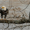 New York Cohoes American Bald Eagle 40 January 2021