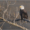 New York Cohoes American Bald Eagle 25 January 2021