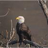New York American Bald Eagle 16 January 2021