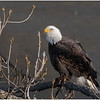 New York Cohoes American Bald Eagle 26 January 2021