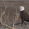 New York Cohoes American Bald Eagle 33 January 2021