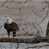 New York Cohoes American Bald Eagle 37 January 2021