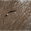 New York Cohoes American Bald Eagle 42 January 2021