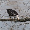 New York Cohoes American Bald Eagle 36 January 2021