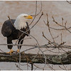 New York Cohoes American Bald Eagle 39 January 2021
