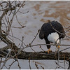 New York Cohoes American Bald Eagle 38 January 2021