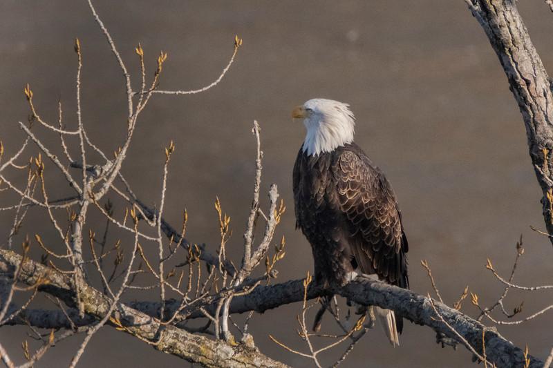 New York American Bald Eagle 15 January 2021