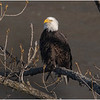 New York Cohoes American Bald Eagle 27 January 2021