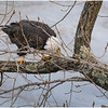 New York Cohoes American Bald Eagle 41 January 2021